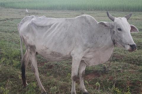 Bull skinny